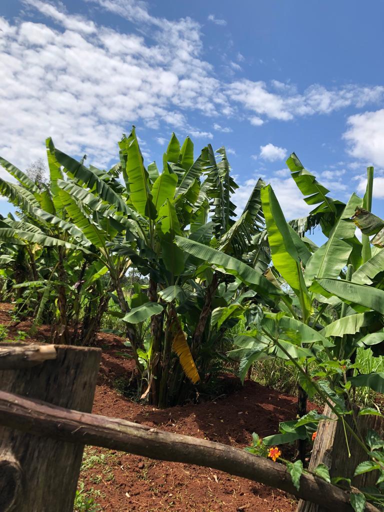 Banana Trees &Things